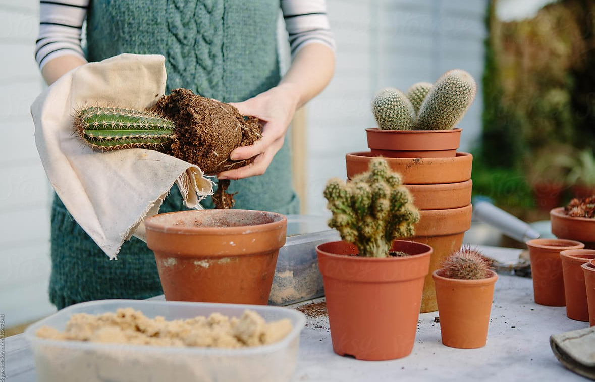 The Best Way to Repot Your Cactus